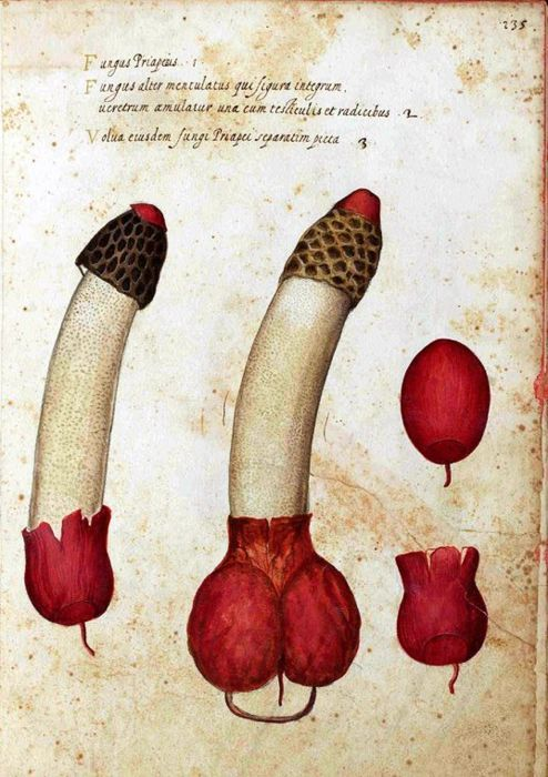 Ulisse Aldrovandi (1522 –1605)   Phallus Impudicus (Satyr's mushroom) illustration
