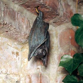 Stunning Fledermaus schlafend jetzt g nstig in Ihrem MEIN SCH NER GARTEN Gartencenter schnell und bequem online