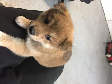 Litter of 6 Shiba Inu puppies for sale in INVER GROVE HEIGHTS, MN. ADN-42642 on PuppyFinder.com Gender: Male. Age: 5 Weeks Old