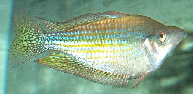 How To Care For The River Murray Rainbow Fish…The Australian rainbowfish or Melanotaenia fluviatilis, known less commonly as the Murray river rainbowfish or the Crimson-spotted rainbowfish, is a species of freshwater rainbowfish endemic to Australia. They are very colourful, hence their name; males of this species are more colourful than females.Australian rainbowfish can reach maximum lengths of 11 centimetres (4.3 in), but the males are usually...(continue reading please click an above…