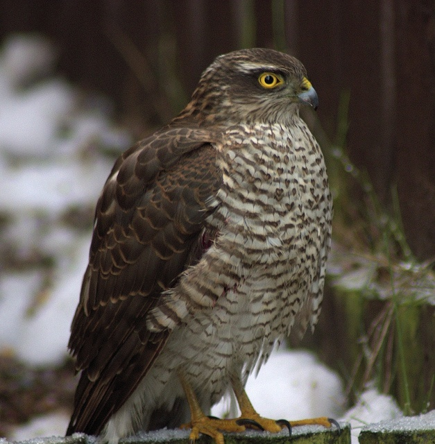 R.I.P. Little Sparrowhawk