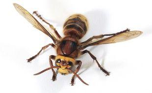 En cas d'allergie ou de piqûres multiples, les piqûres de frelons peuvent être très dangereuses.