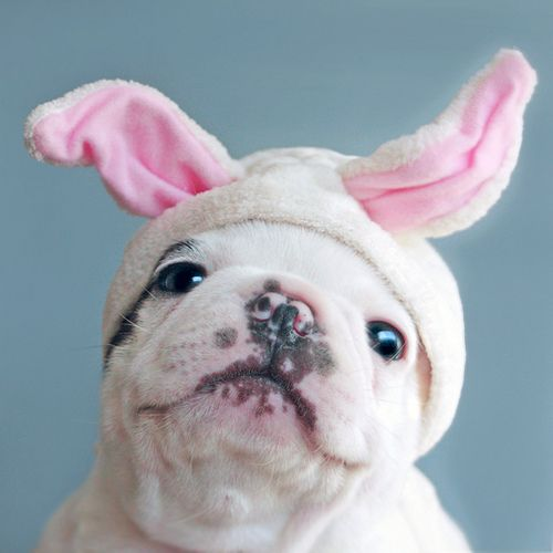 º: Fluffy Animals, Bulldog Bunny, Animals Acting, French Bulldogs, Adorable Animals, Puppy, Bunny Dog, Bunnies