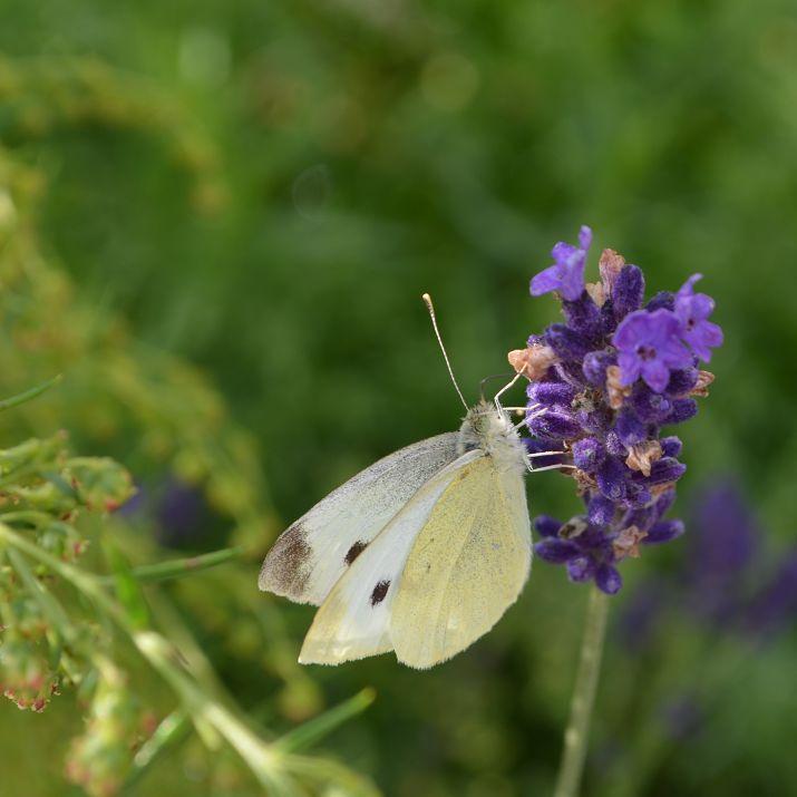 Een vlinder (witje) op lavendel, gefotografeerd in De Kruidhof, Botanische Tuin Fryslan, in Buitenpost.