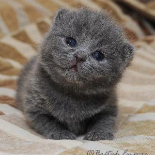 Adorable British Shorthair Kittens Cute Baby Animals Animals