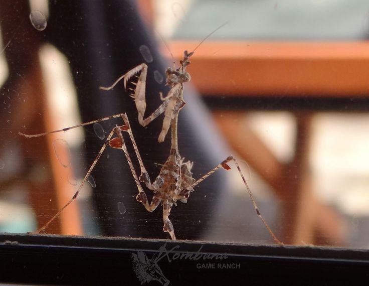 Praying Mantis @ Xombana, Dinokeng