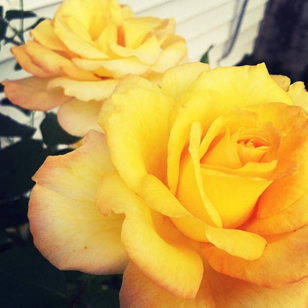 near perfect roses for the tat: I M Happyyyyyyyyyyyyi Thank, Perfect Roses, Tattoo'S Idea, Huge Lots, Beats Fresh, Care Zo, Roses 3, Projects Reference, Fresh Picks