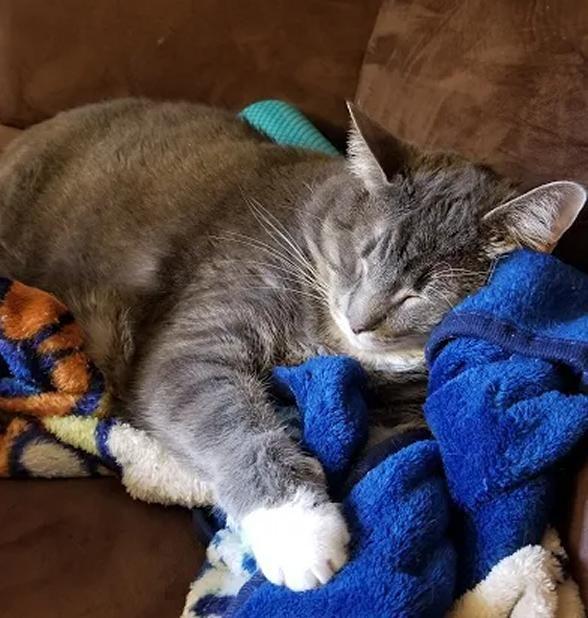 Grey Tabby Tuxedo Cat For Adoption In Denver Co Adopt Mohawk Cat Adoption Tabby Cat Saving Cat