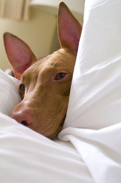Pharaoh hound! So pretty