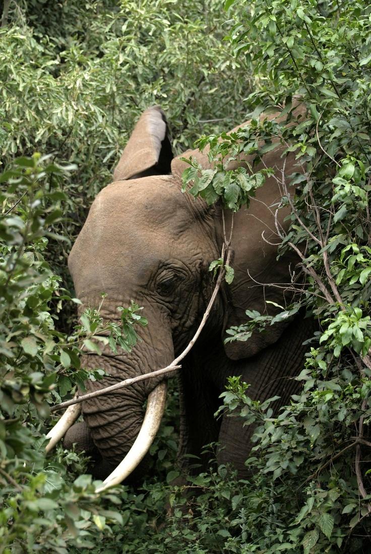 African Savanna Elephant, Tanzania