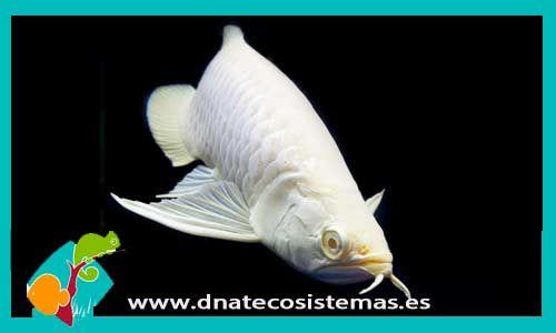 albin-arowana-albina-arowana-majestick-red-violet-fusion-arowana-super-red-crimson-red-dnatecosistemas-tienda-de-peces-online-pez-dragon-