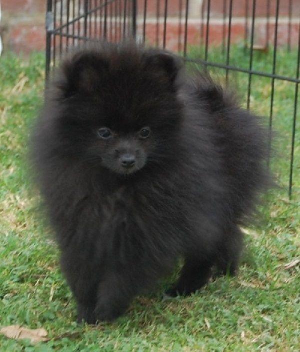 black pomeranian puppies for sale | Zoe Fans Blog | Cute ...