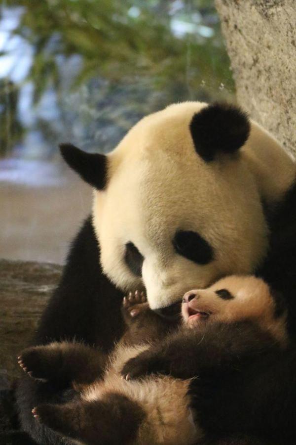 Le bébé panda de Pairi Daiza a deux dents: voici les photos qui font le buzz sur…