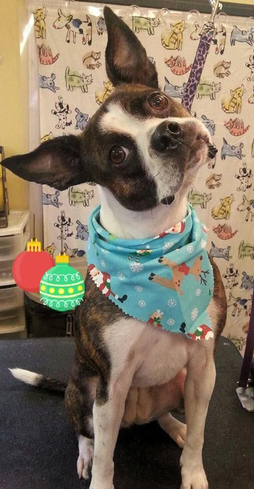 Meet Star, a Petfinder adoptable Boston Terrier Dog | Greensboro, NC | Star is back, dear friends! Perhaps you recall this darling BT mix who came to us in the earlier...