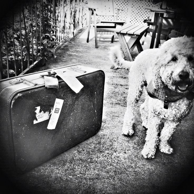 Spoodle Cockerpoo moving suitcase travel