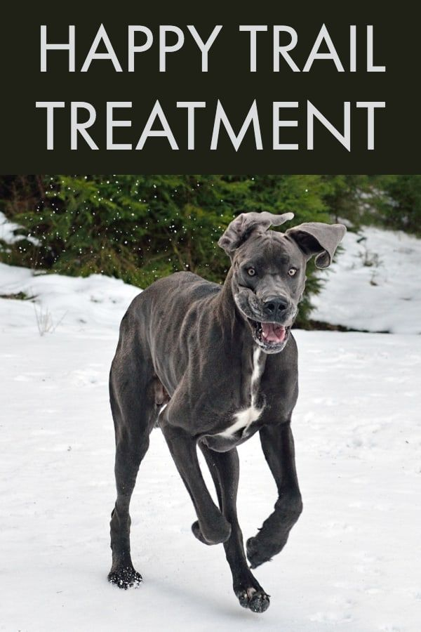 Happy Tail Syndrome In Great Danes Why It Happens How To Treat