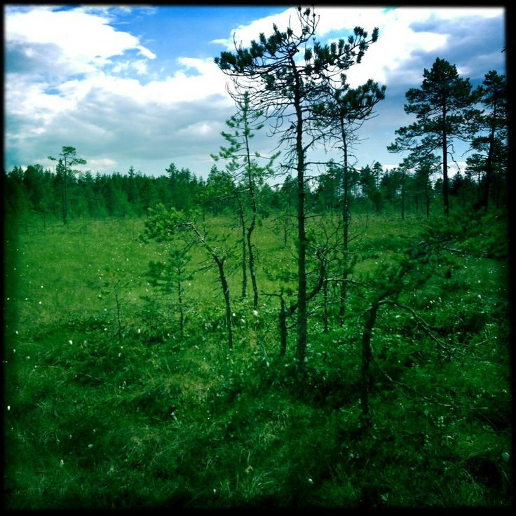 Cloudberrys. Swamp. Suo, lakkoja, vihreää.. Green <3