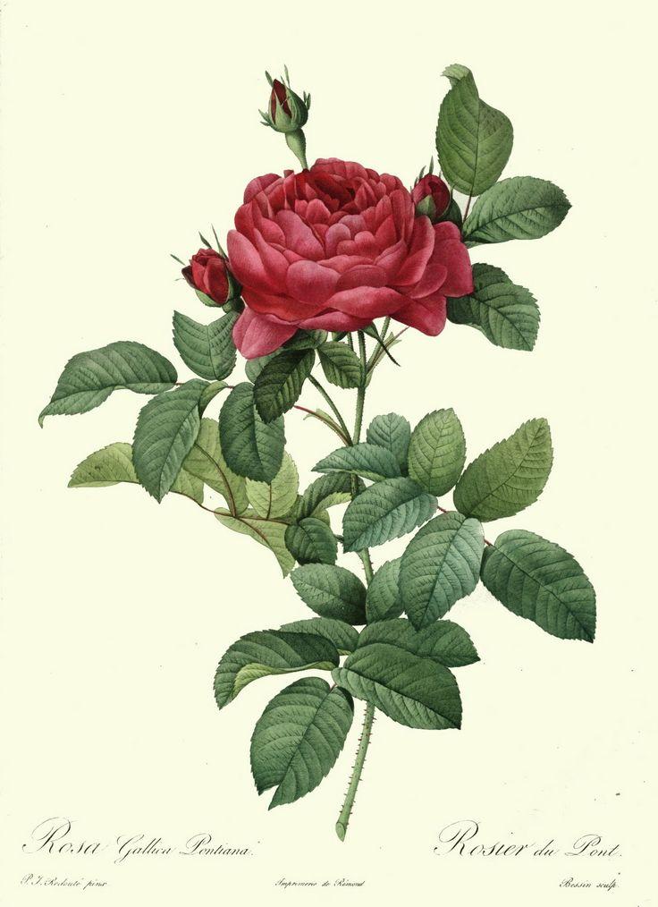 Redoute_-_Rosa_gallica_pontiana.jpg (1161×1600)