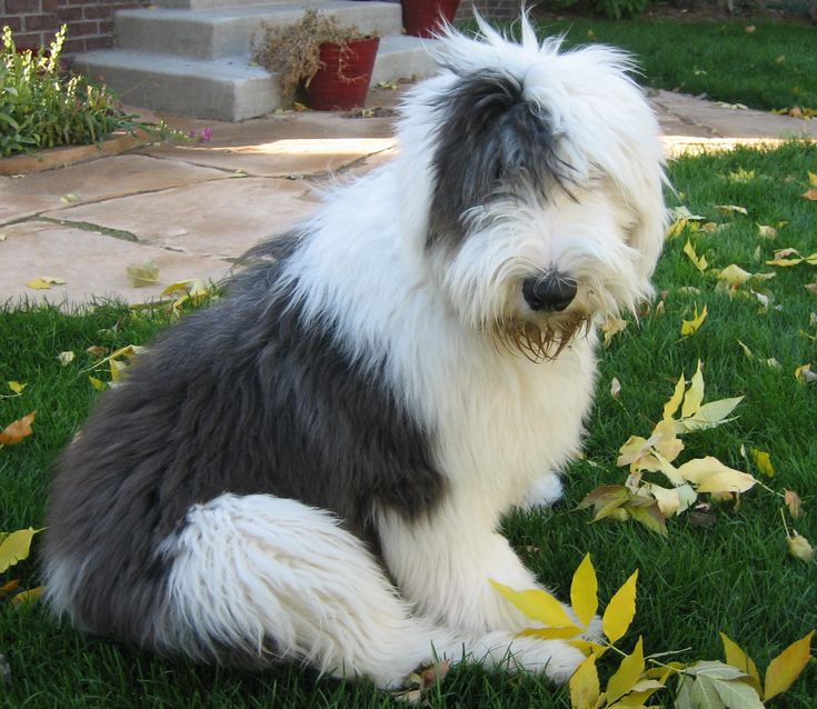 <3 Old English Sheepdogs
