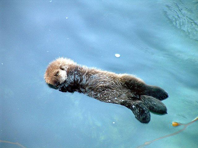 Sleeping baby sea otter