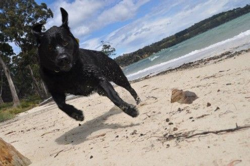 Dogs are very welcome in many places in Tasmania, Australia. Sasha our Lab loves the water.