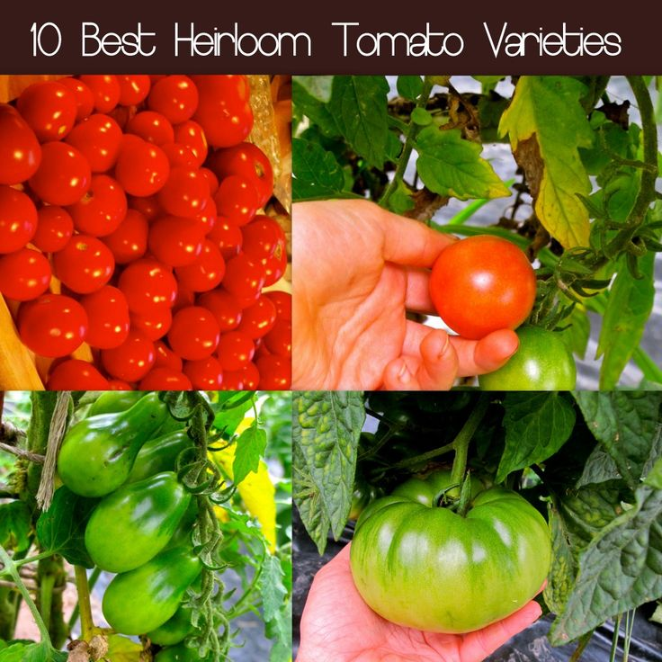 37 Best Images About Heirloom Tomatoes On Pinterest 400 x 300