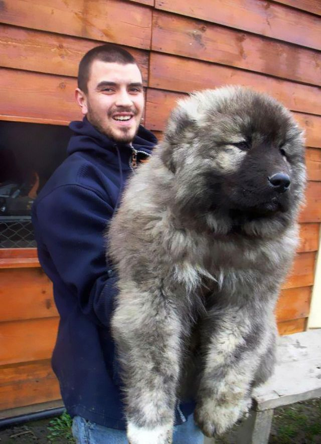 This Caucasian Shepherd puppy is all ready to go and fish for salmon in lakes.