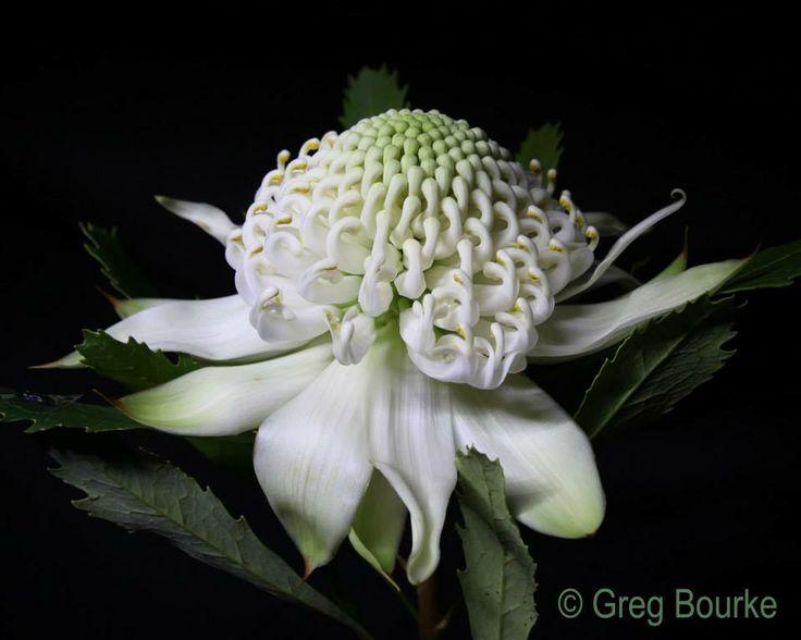 White Waratah by Greg Bourke