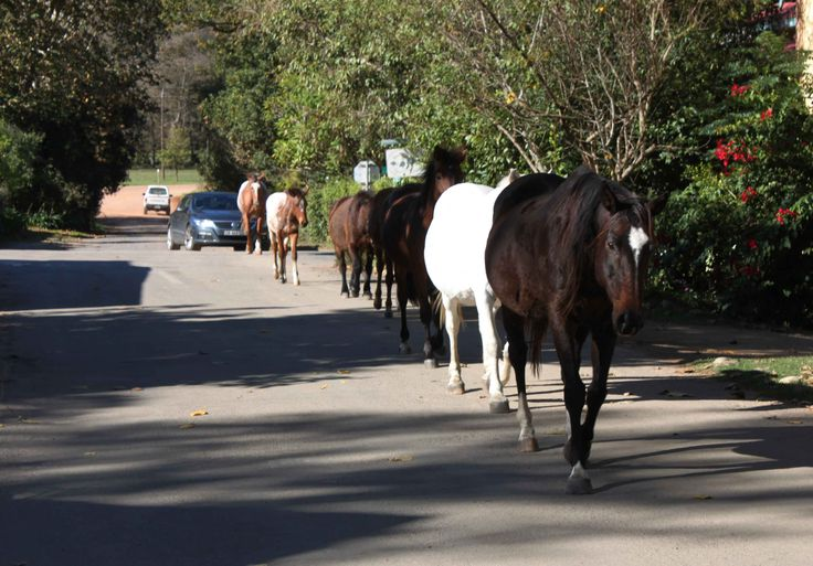 Horses heading for Oak and Vine. 28 May 2014. by Mike Ohlson de Fine.