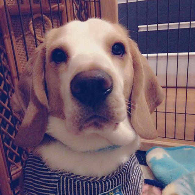 . 僕、うまうま食べすぎて太ったかも...お姉ちゃんに『デブ』って言われるの... . #ビーグル #ビーグル犬 #ビーグル好き #ビーグル仔犬 #ビーグル大好き #ビーグルレモンカラー #レモンカラービーグル #太ったかも #可愛い #愛犬