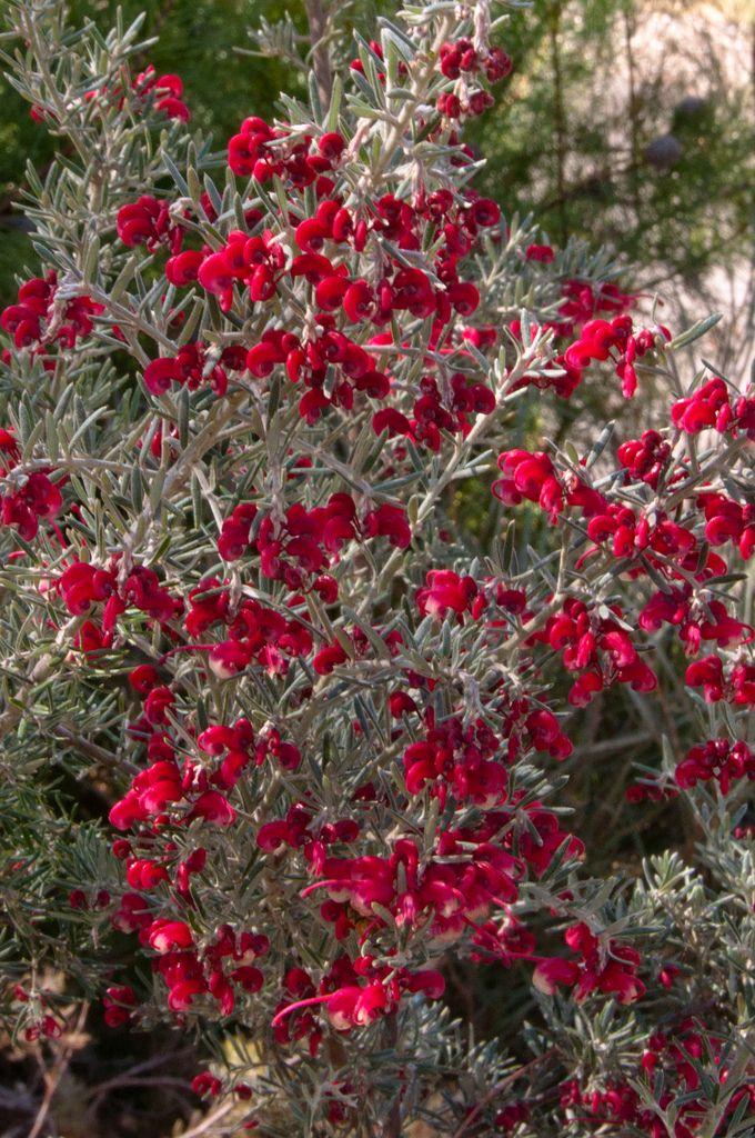 Grevillea lavandulacea (Lavender Grevillea) | Bumble BC | Flickr