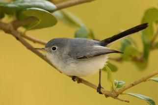 Blue-gray Gnatcatcher.