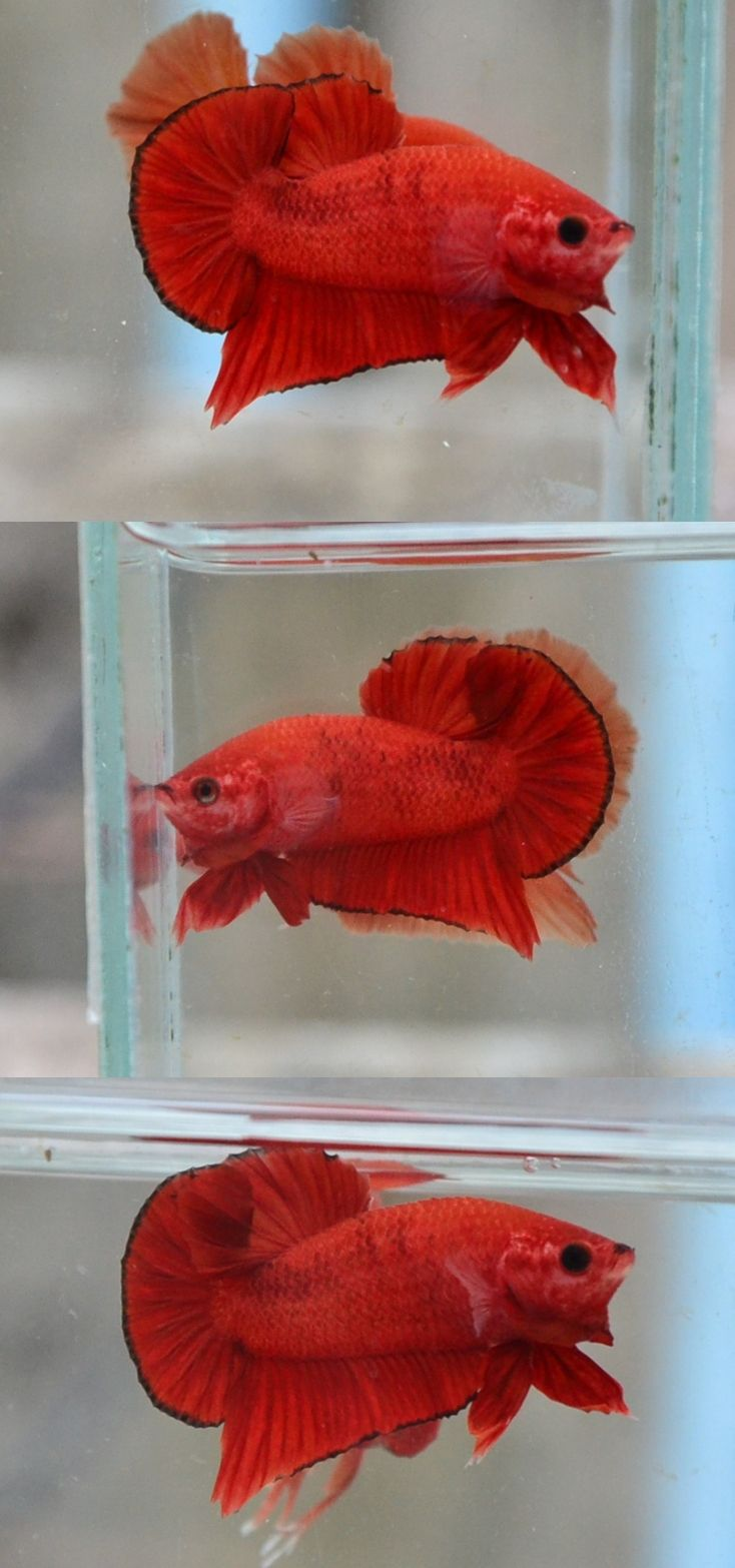 78 best betta images on Pinterest | Beautiful fish, Comet goldfish ...