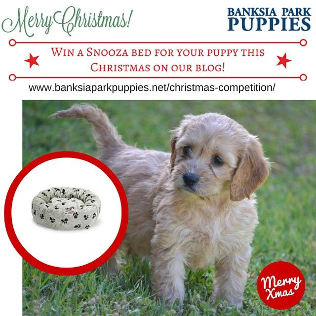Head over to our blog to enter our christmas competition! Www.banksiaparkpuppies.net #competition #christmas #banksiaparkpuppies #puppies #bed #snooza #christmascompetition #Cavoodles  #cavoodlesofinstagram  #schnoodles  #schnoodlesofinstagram #Puggle #puppies #puppy #pugglesofinstagram #cavador #cavadorsofinstagram #spoodles #spoodlesofinstagram #australianentriesonly
