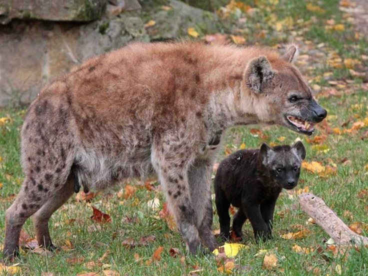 Hyena Sanctuaries in India @ Sanctuariesindia.com