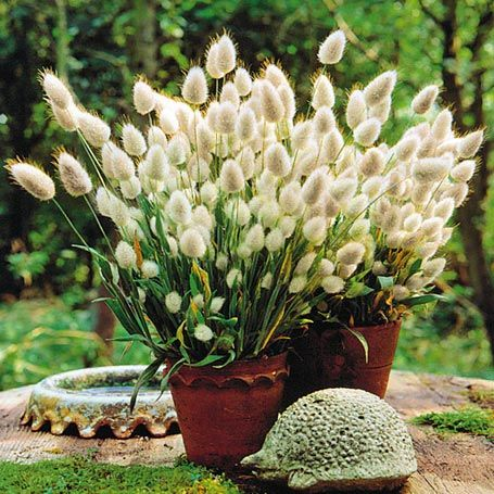 Bunny Tails macht richtig Spaß. Diepuffigen, wattig weichen Blütenbällchen erinnern an lustig wippende Hasenschwänzchen. Einfache Anzucht und Anspruchslosigkeit machen Bunny Tails zu einer idealen Kinderblume.
