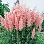 Pink Pampas Grass... I just love this. And the color is very soft and pleasing to the eye. Beautiful!