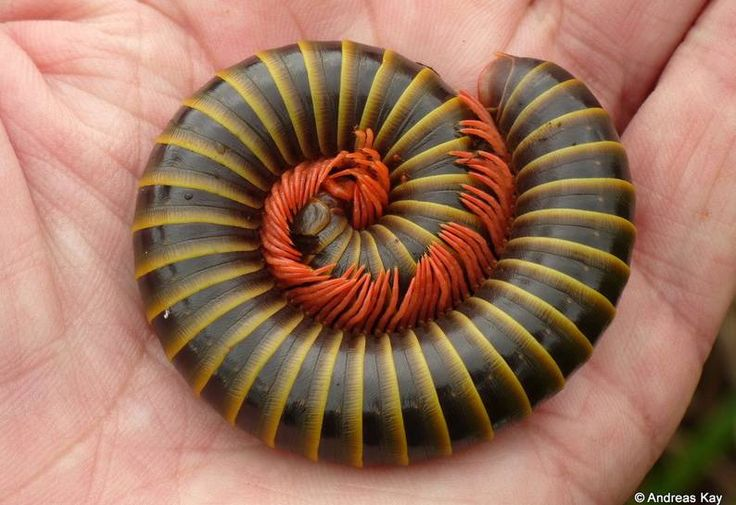 The beauty of a millipede