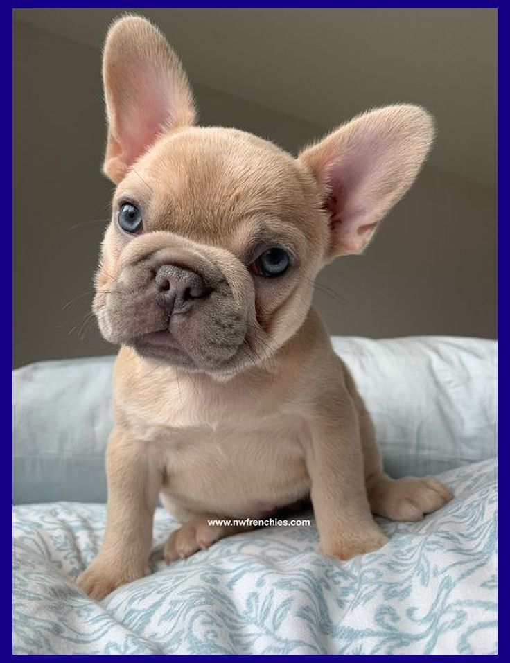5 Things To Know About Bulldogs English Bulldog Puppies Blue Cutest English Bulldog Puppi In 2020 Baby French Bulldog Cute French Bulldog Bulldog Puppies For Sale