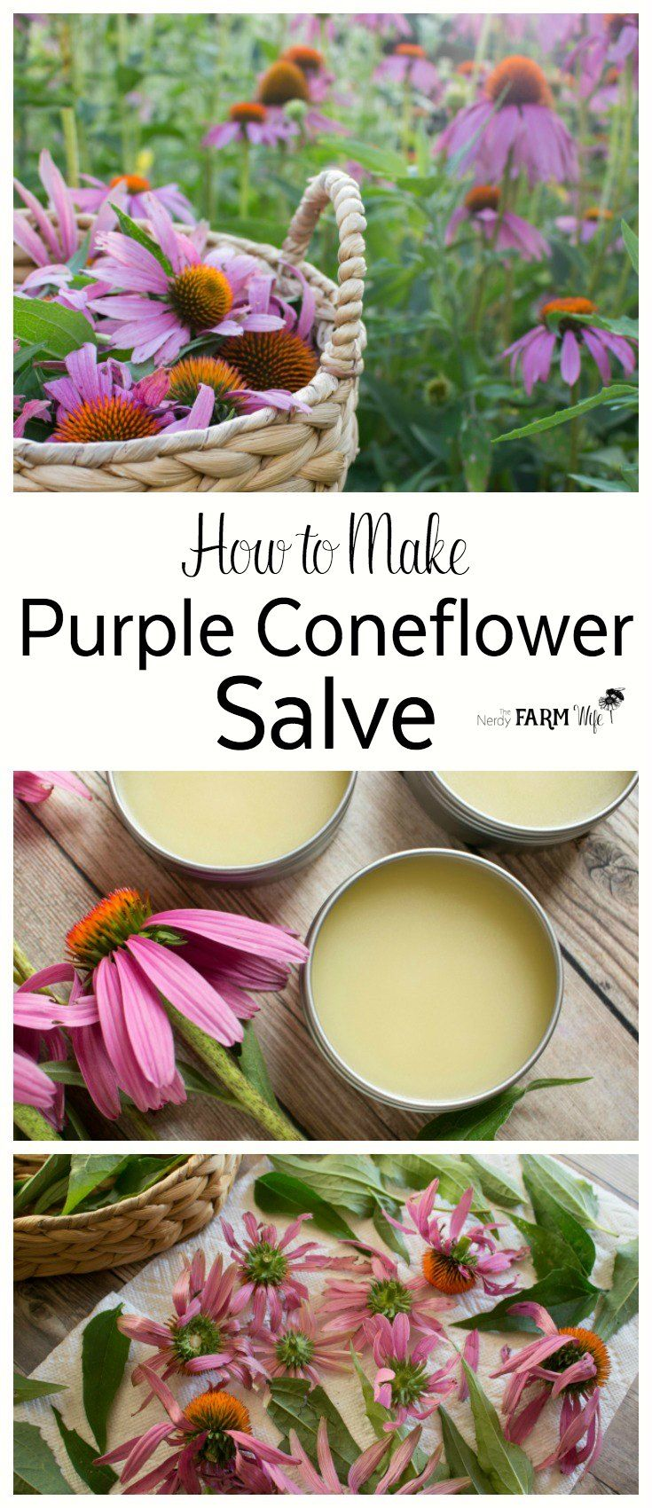 How to Make Echinacea (Purple Coneflower) Oil & Salve - The oil and salve made from the leaves and flowers of purple coneflower (Echinacea pupurea) is super simple to make and useful to keep on hand for treating wounds, stings, bug bites and chapped irritated skin.