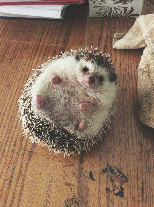hedgehog _heartwarming (5)