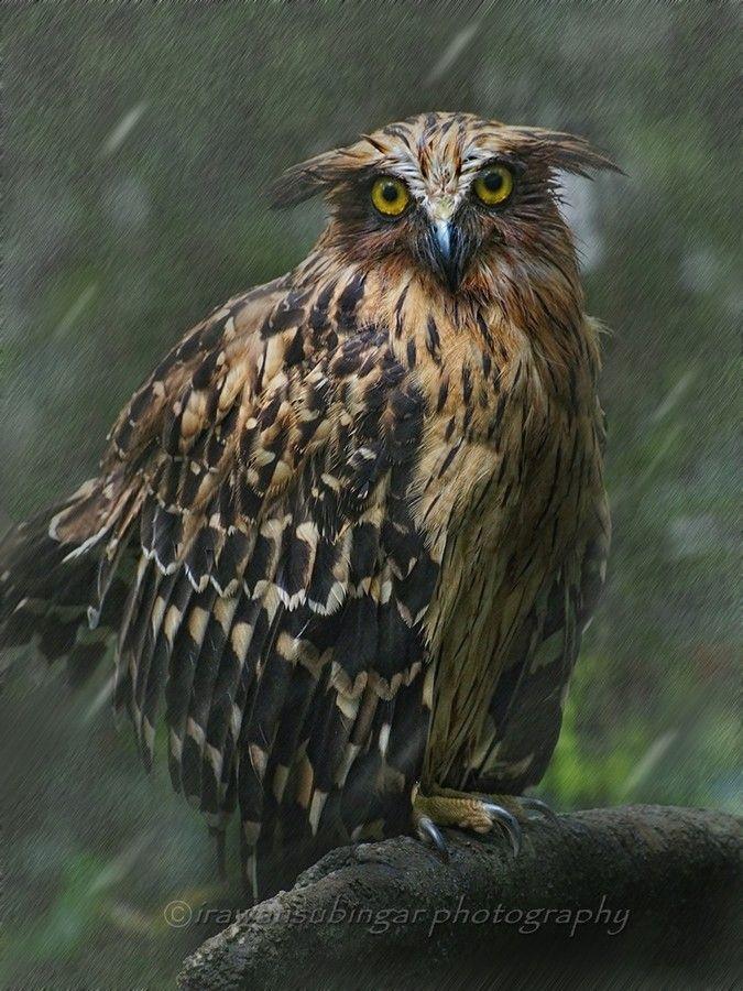 Malay Fish Owl In The Rain