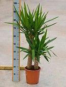 Informatie over de verzorging van de Yucca kamerplant ✓ Meest uitgebreide online binnenplanten encyclopedie ✓ Webshop ✓ Particulier & Zakelijk
