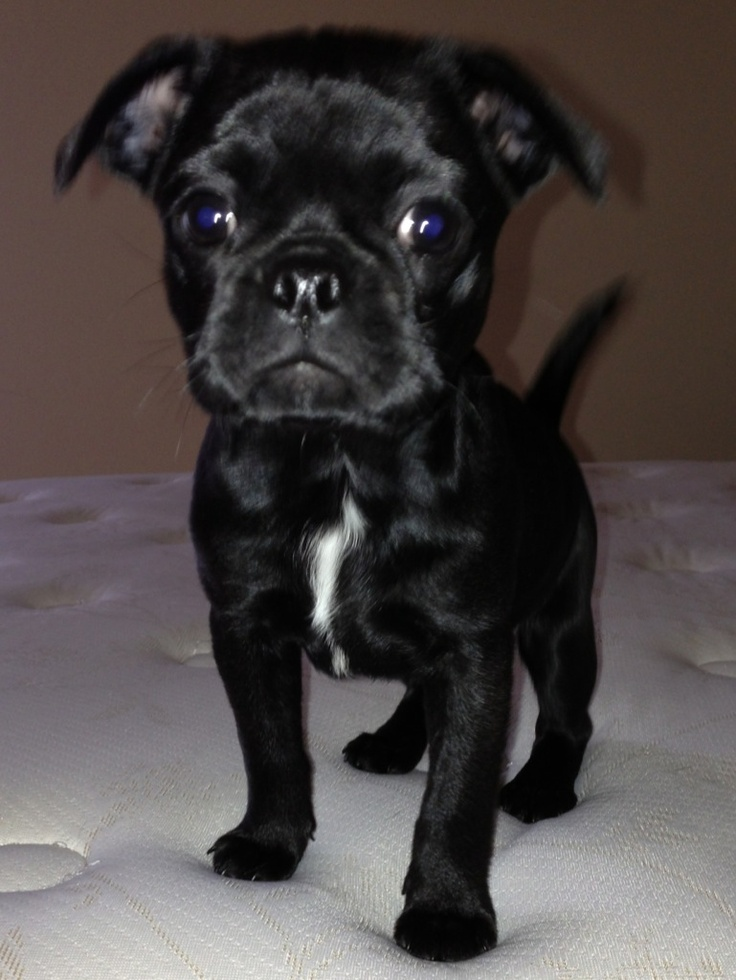 What a face! Bugg puppy 9 weeks old