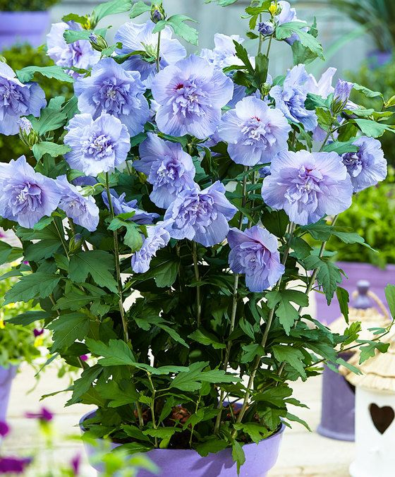 Hibiscus 'Blue Chiffon'