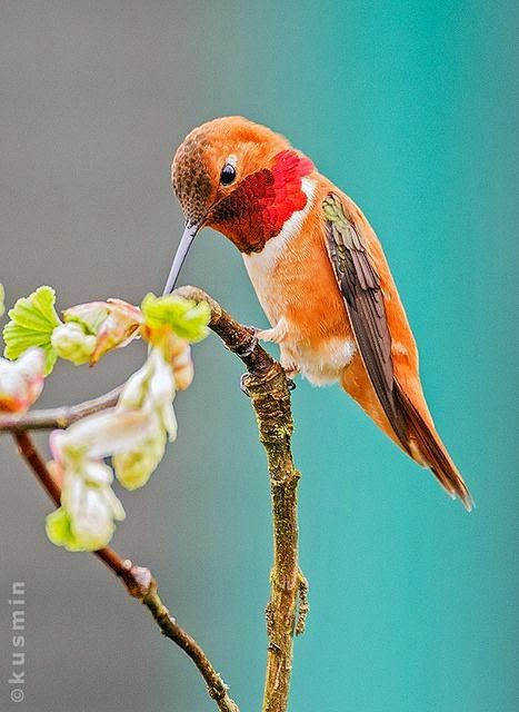 #letyourcolorout Rufous hummingbird/selasphorus rufus
