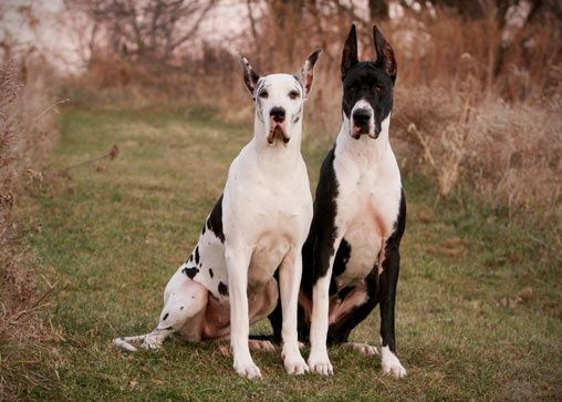 1000 ideas about mantle great dane on pinterest great