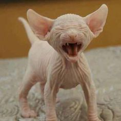 List and Photos of Hypoallergenic Cat Breeds