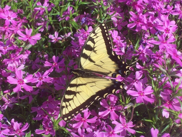 Look who I found creeping around my creeping phlox.~ This picture is now my desktop picture. caston4u