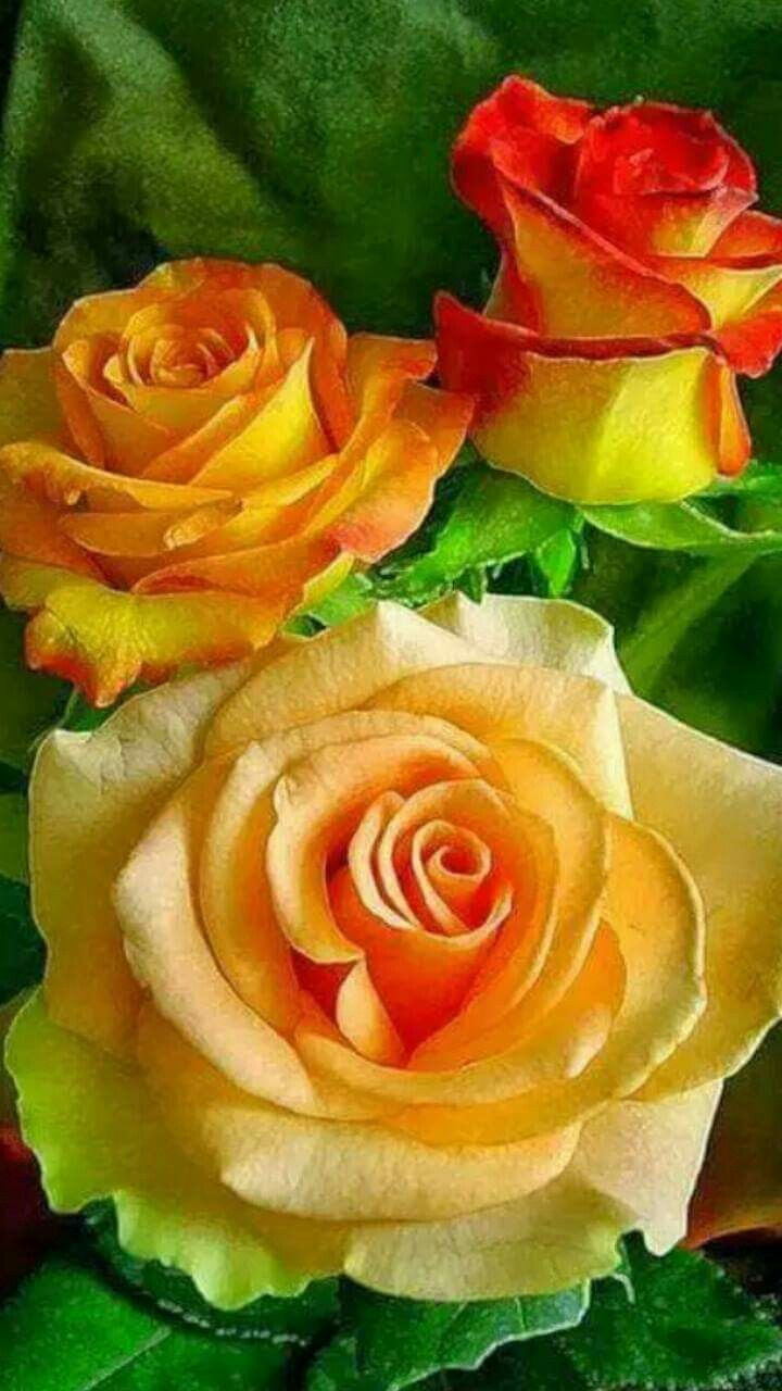 829 best roses images on pinterest plants beautiful roses and the greek rose garden dhlflorist Image collections
